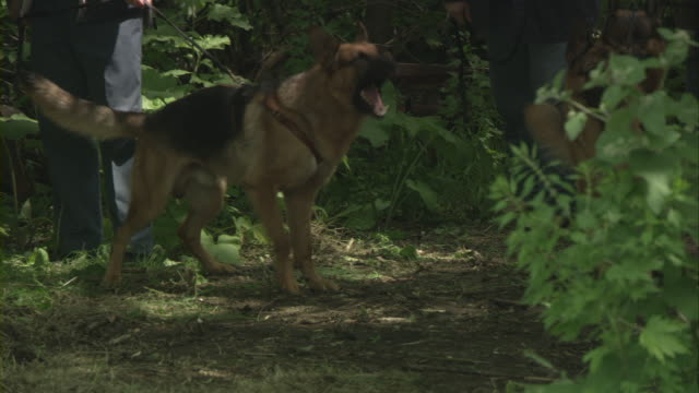 german shepherds on leashes sniffing in the woods. - cercare video stock e b–roll