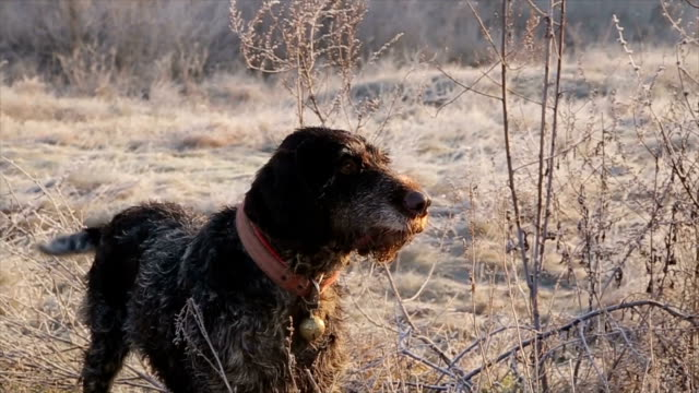 german wirehaired pointer,close up - purebred dog stock videos & royalty-free footage