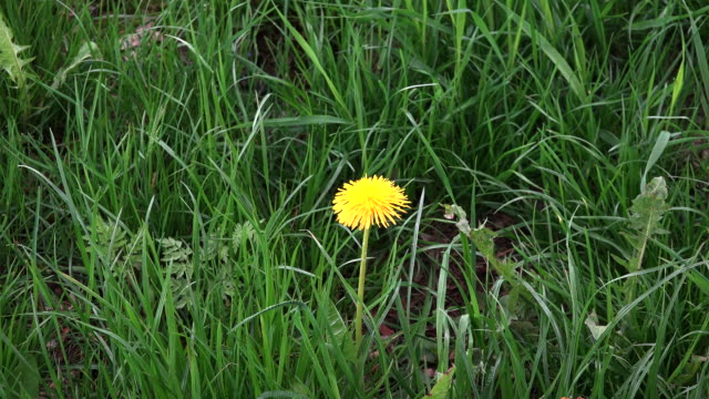 Germany dandelion zooms in