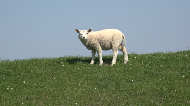 germany little lamb on dike zooms in - sheep stock videos & royalty-free footage