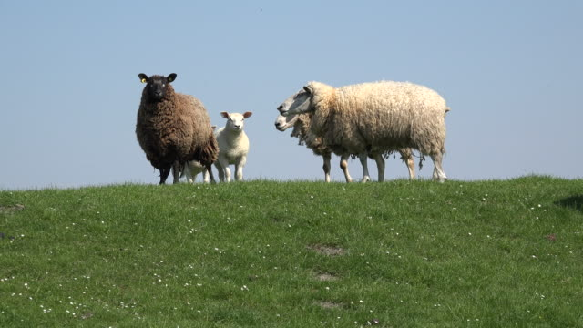 germany sheep on top of dike - sheep stock videos & royalty-free footage