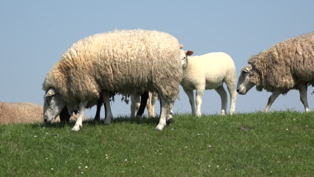 germany sheep on top of levee - levee stock videos & royalty-free footage
