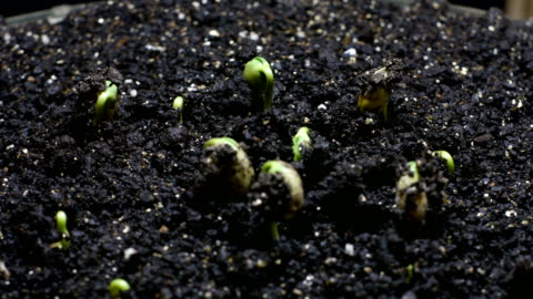 germinated soybean seeds - bud stock videos & royalty-free footage