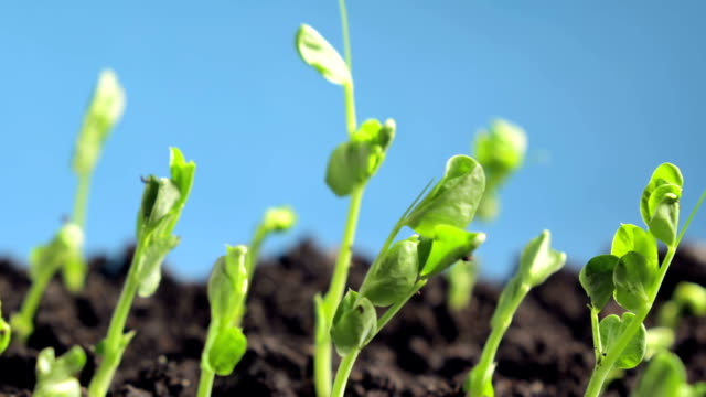 germinating peas - growth stock videos & royalty-free footage