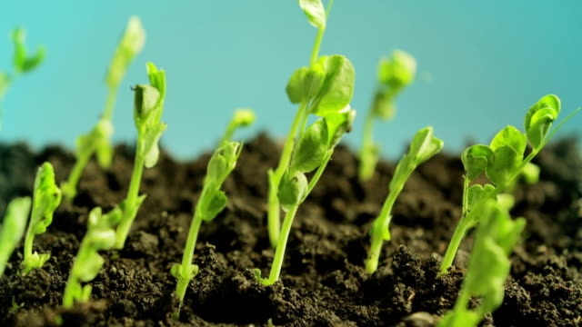 germinating peas - crop plant stock videos and b-roll footage