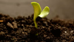 Germinating Seed Growing in Ground Agriculture Spring Summer Timelapse