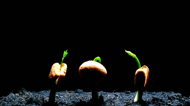 germinating seed time lapse black background - germinating stock videos & royalty-free footage