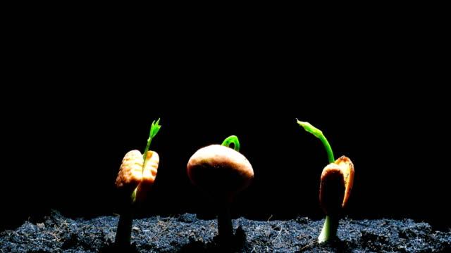 発芽種子の時間経過の黒背景 - 苗点の映像素材/bロール