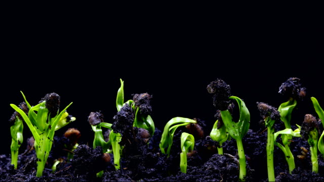 germinating seed time lapse - black background stock videos & royalty-free footage