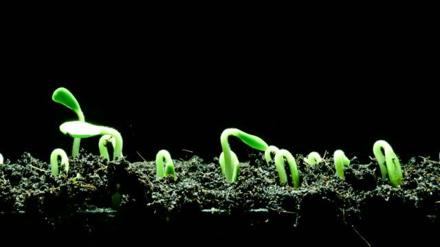 vídeos de stock, filmes e b-roll de lapso de tempo germinação sementes - processo vegetal