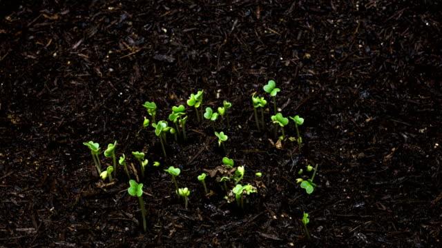 germination of bok choy seeds / gyeonggi-do, south korea - biological process stock videos & royalty-free footage