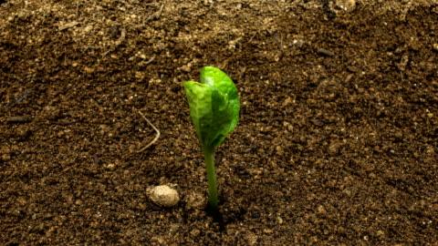 germination of pumpkin seeds / gyeonggi-do, south korea - seed stock videos & royalty-free footage