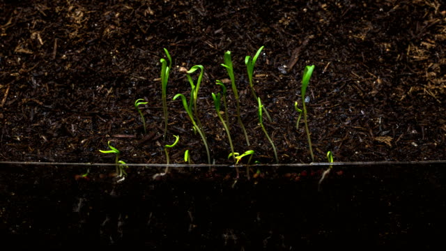germination of spinach seeds / gyeonggi-do, south korea - biological process stock videos & royalty-free footage