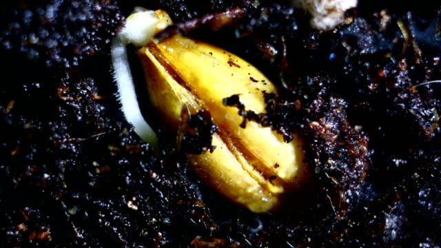 germination time lapse -wheat - germinating stock videos & royalty-free footage