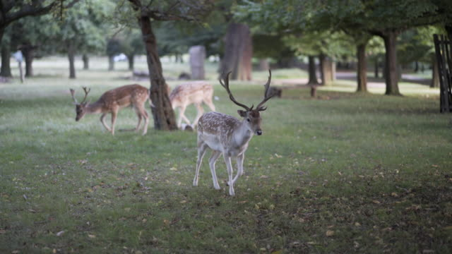 get up close and personal with the axis spotted deer in richmond park, london, uk - small group of animals stock videos & royalty-free footage