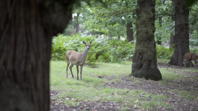 get up close and personal with the female deer in richmond park, london, uk - richmond upon thames stock-videos und b-roll-filmmaterial