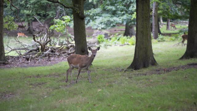 vídeos de stock, filmes e b-roll de get up close and personal with the female deer in richmond park, london, uk - corça