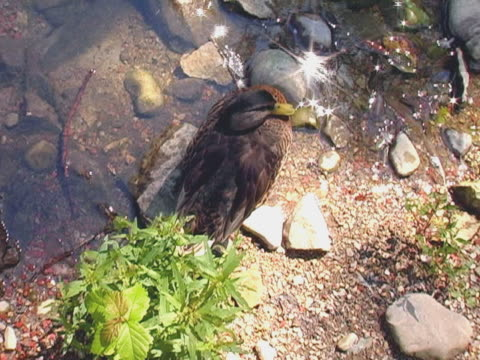 stockvideo's en b-roll-footage met getting really close to a duck - vogeljacht