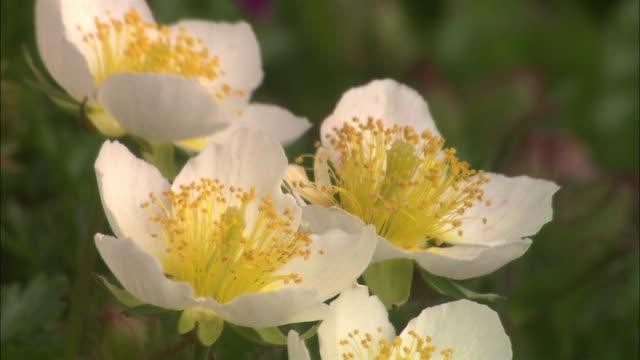 stockvideo's en b-roll-footage met geum pentapetala flowers in hokkaido - meeldraad