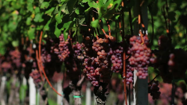 gewuerztraminer grapes (loopable) - herbst stock videos & royalty-free footage