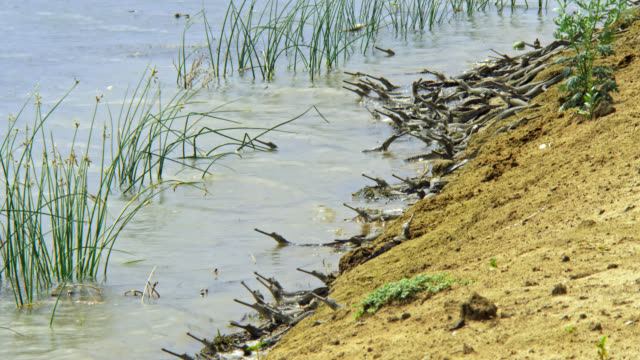 gharial babies lying down in water shore - wide shot - national park stock videos & royalty-free footage