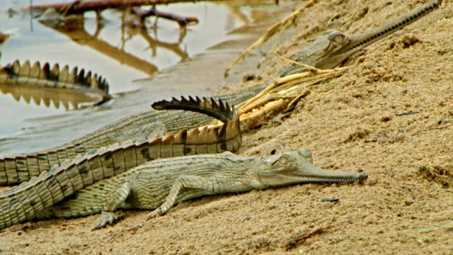 gharial baby - wildlife tracking tag stock videos and b-roll footage
