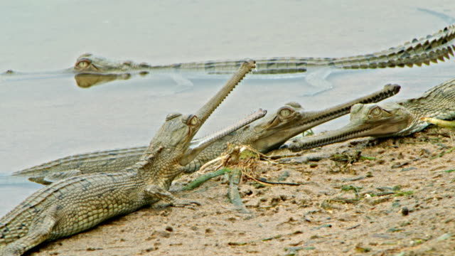 gharial baby - rare stock videos & royalty-free footage