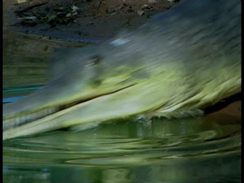 gharial (gavialis gangeticus) crawling into water, in captivity, india - tier in gefangenschaft stock-videos und b-roll-filmmaterial
