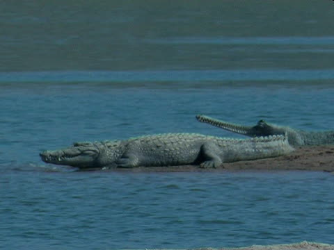 Gharial crocodile (Gavialis gangeticus) in Chambal River, India