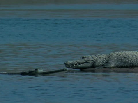 Gharial crocodiles (Gavialis gangeticus) in Chambal River and on banks, India