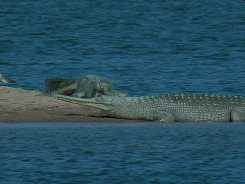 vídeos de stock, filmes e b-roll de gharial crocodiles (gavialis gangeticus) on chambal river bank, india - um do lado do outro