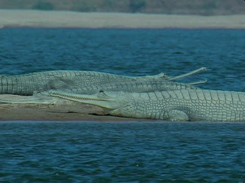 gharial crocodiles (gavialis gangeticus) on chambal river bank, india - membrana video stock e b–roll