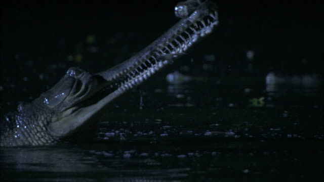 Gharial eating fish at night, Madras Crocodile Bank Trust, India Available in HD.