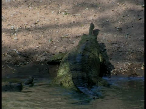 Gharial (Gavialis gangeticus) leaving river in captivity, India