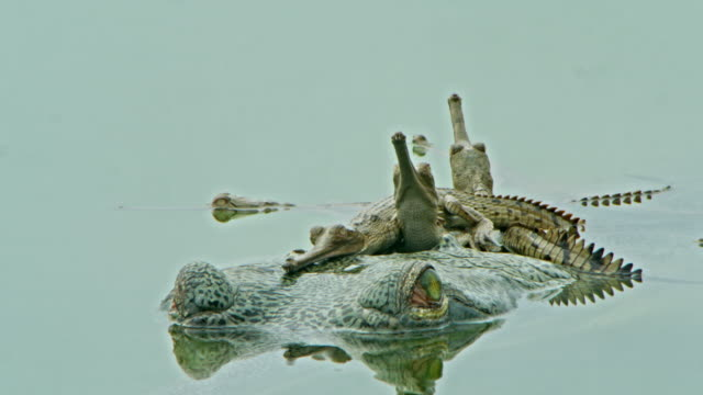 gharial mother and baby - wildlife tracking tag stock videos and b-roll footage