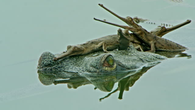 gharial mother and baby - young animal stock videos & royalty-free footage