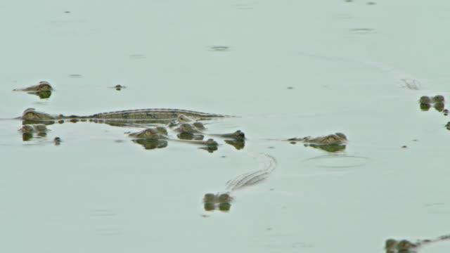 vídeos y material grabado en eventos de stock de gharial mother and her offsprings swimming closely together - medium group of animals