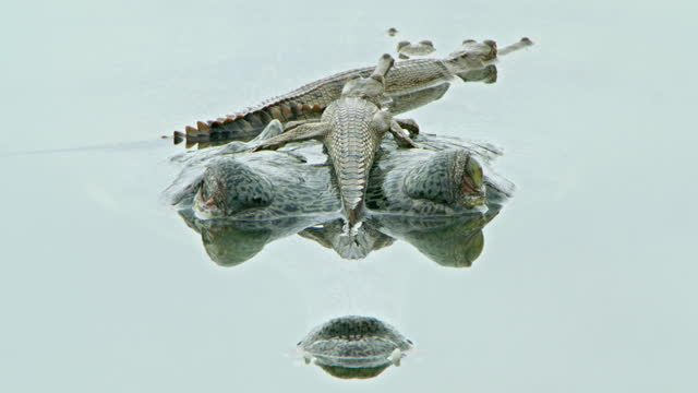 gharial mother with her offspring - threatened species stock videos & royalty-free footage