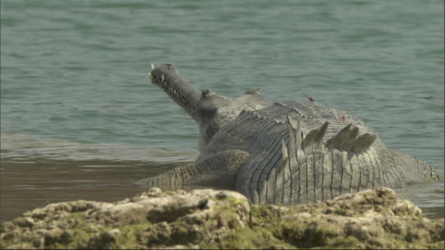 Gharial on sand bank, Chambal River, India Available in HD.