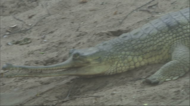 gharial slithers down sand bank into water, madras crocodile bank trust, india available in hd. - zoo stock videos & royalty-free footage