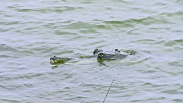 gharial snout and head bobbing in water - alligator stock videos & royalty-free footage