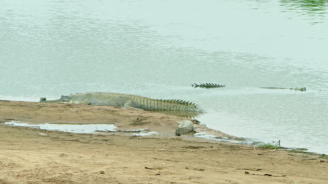 gharial - wildlife tracking tag stock videos and b-roll footage