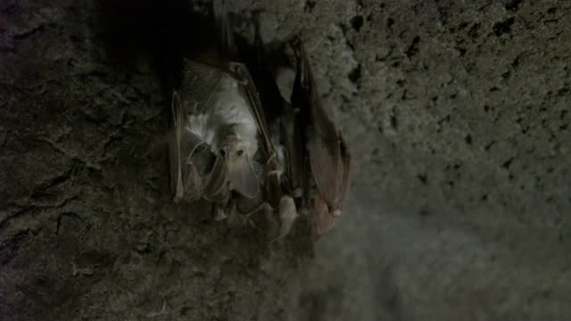 stockvideo's en b-roll-footage met ghost bat hanging in cave and preening with group of bats sleeping - hangen