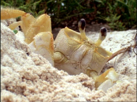 cu ghost crab (ocypode) appearing from sand burrow, bermuda - atlantikinseln stock-videos und b-roll-filmmaterial