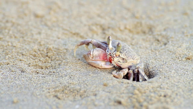 ghost crab hiding on sand beach - hole stock videos & royalty-free footage