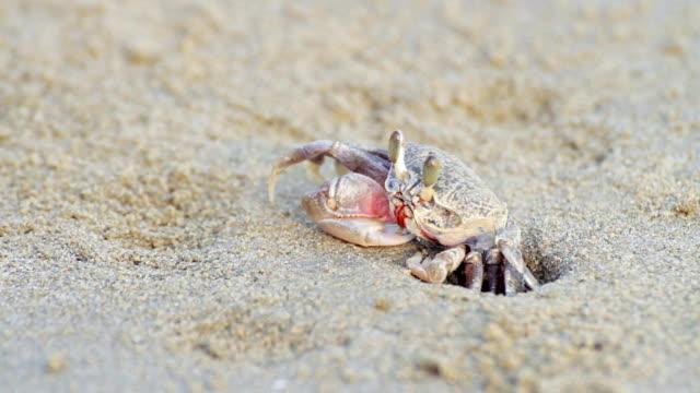 geisterkrabbe versteckt sich am sandstrand - krabbe stock-videos und b-roll-filmmaterial