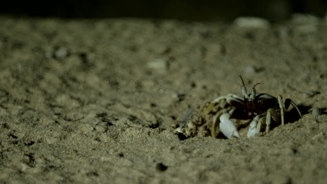 ghost crab pinning down hatchling turtle on beach - animal attribute stock videos and b-roll footage
