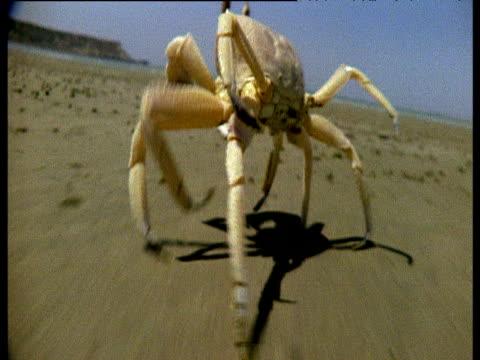 Ghost crab runs across sandy beach