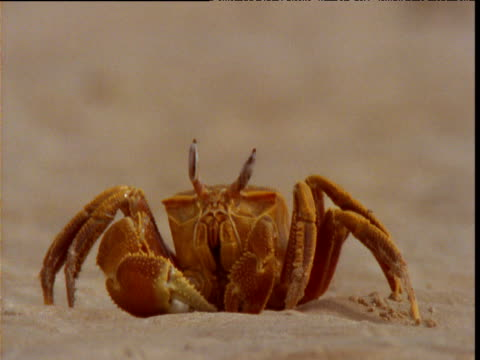 ghost crab sits tapping one leg on the sand, western australia - animal skeleton stock videos & royalty-free footage