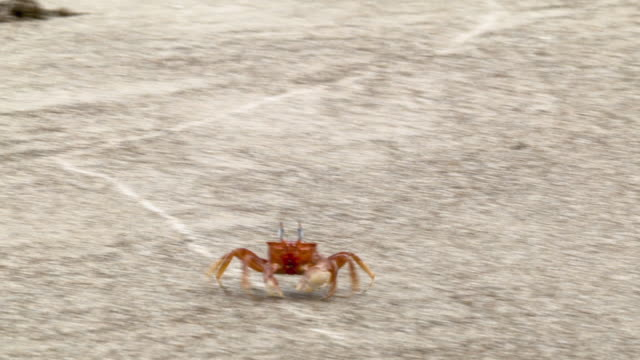 ghost crabs (ocypode sp.) on a beach on the pacific coast of ecuador - crab stock videos & royalty-free footage